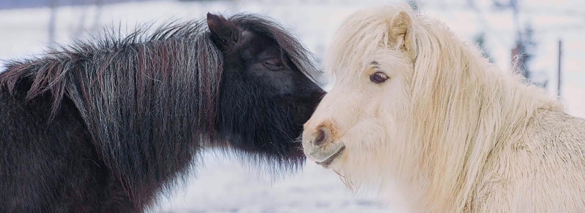 Esperanca Shetlands